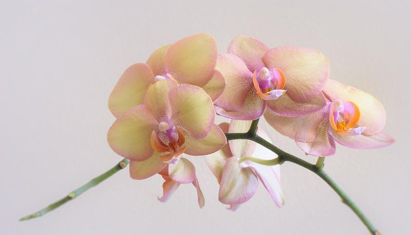 Peach Orchid 0020-Edit
