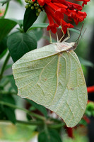 Green Leaf Butterfly.JPG