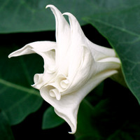 Angel Trumpet - White