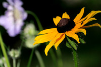 Blackeyed Susan with Bug.jpg